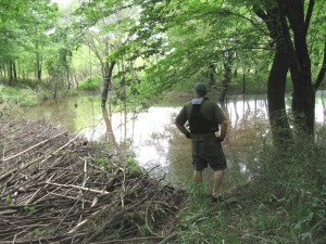 Mike McCarthy surveys the handiwork of a family of beavers on an unnamed tributary of the Oostanaula.