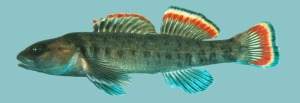"The federally endangered Etowah Darter: ""Why's everybody always picking on me?"""