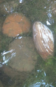 "A mussel does its ""thing""--sitting on the river bottom filtering water."
