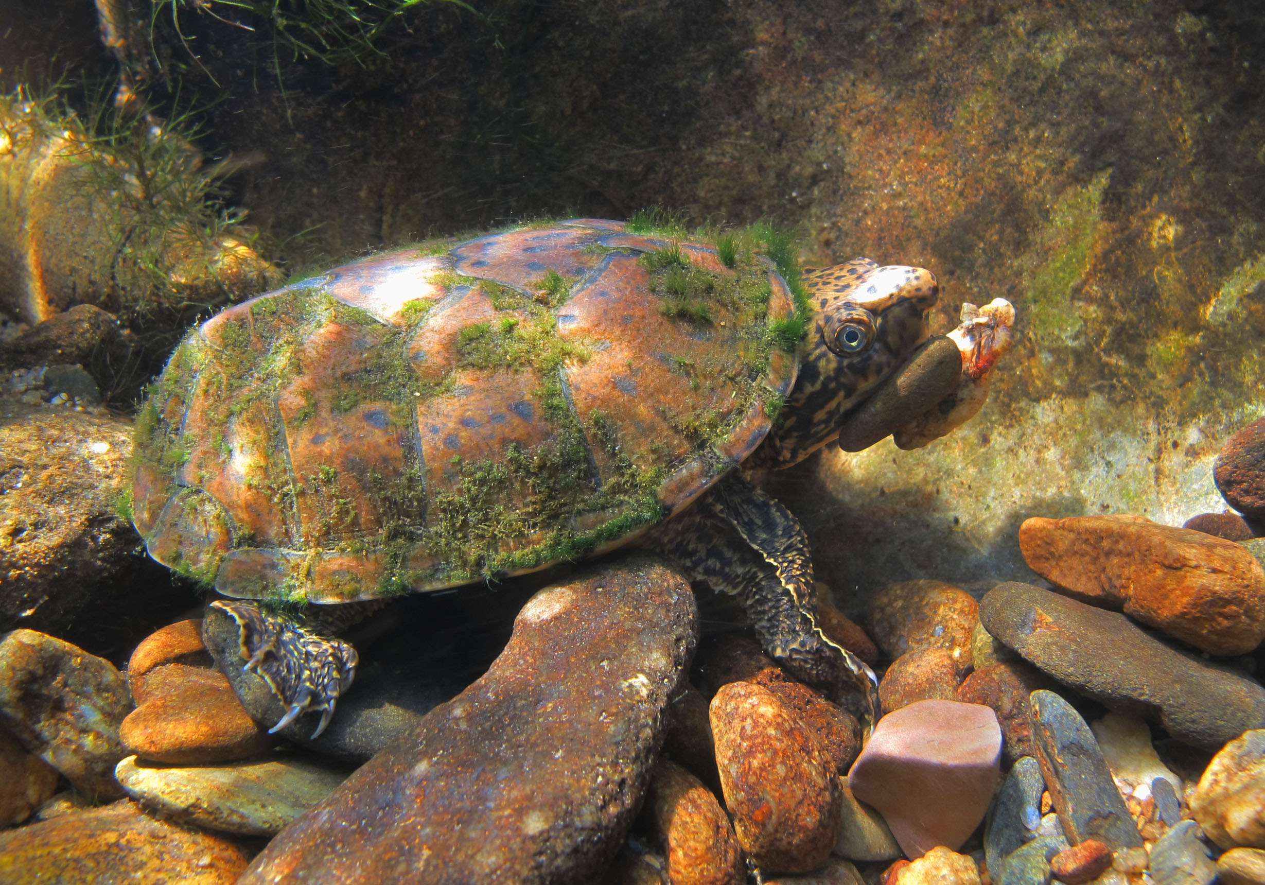 Common Water Turtles : ... common river cooters and mammoth snapping turtles. Photo by Amos Tuck