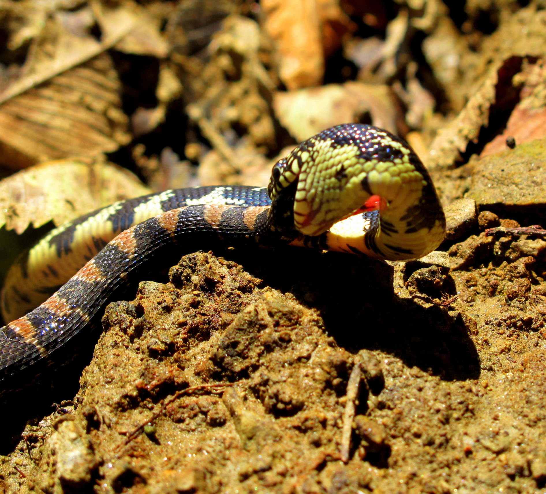 Amos Odyssey Day 16: Snake Eating Snake Wows Paddlers, But ...