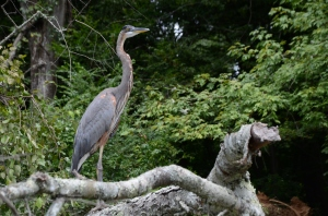 A great blue heron stand sentinel on the Coosa River. If the great blue could cast a vote, he'd vote for wetlands!