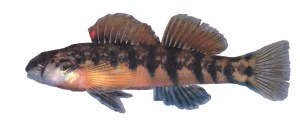 Federally protected Cherokee darters are among the fish that would be impacted by the proposed Richland Creek Reservoir in Paulding County
